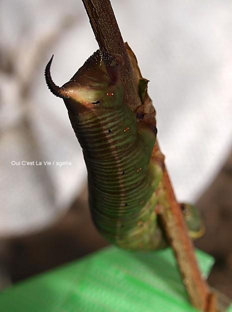 蛹化前のオオスカシバ幼虫は色が褐色に変化。