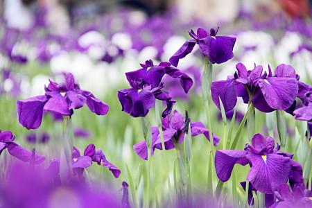 花菖蒲(紫)