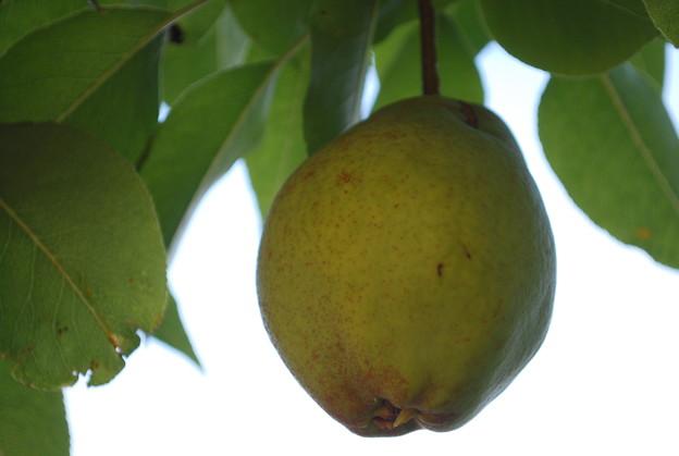 Photos: Pear 9-26-09