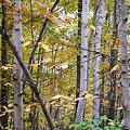 Photos: Birches 10-8-09