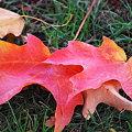 Photos: Maple Leaves