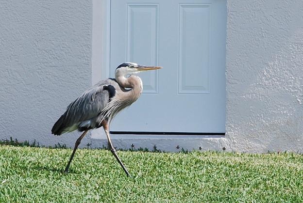4-15-09 Great Blue Heron