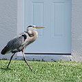Photos: 4-15-09 Great Blue Heron