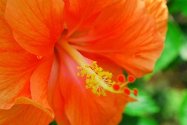 Photos: 4-15-09 Orange Hibiscus