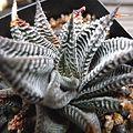 写真: H. limifolia striata