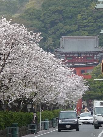 110411-鎌倉 段葛 (25)