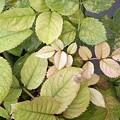 Photos: クロローシスの葉