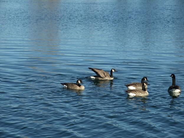 池のカナダガン