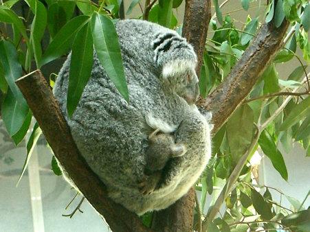 多摩動物園コアラの赤ちゃん