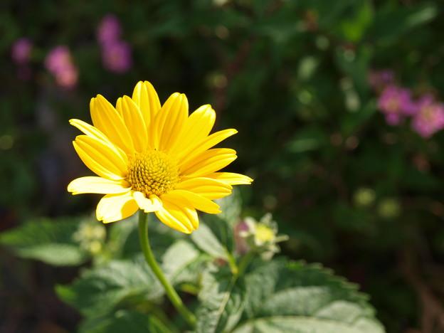 太陽の花~♪