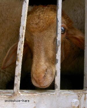 ドナドナ車の羊ちゃん