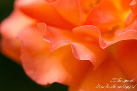 一本木公園 薔薇祭り