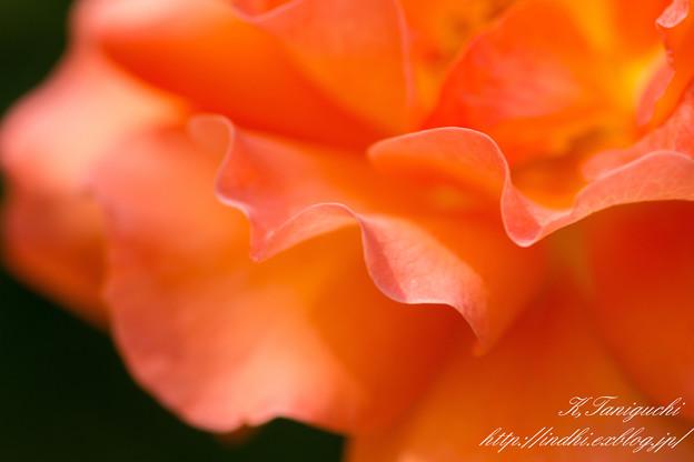 Photos: 一本木公園 薔薇祭り