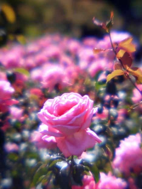 GF1マニュアル撮影_秋の薔薇