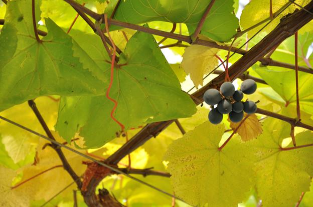 写真: ワイン用ブドウ