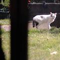 写真: 外猫VS番猫