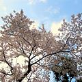 写真: 裏手の桜