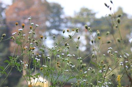 2011.10.25 和泉川 コセンダングサとヒメジョオン