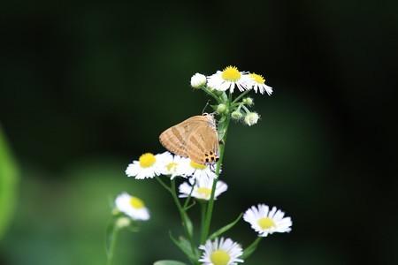 2012.06.27 追分市民の森 ヒメジョオンにトラフシジミ