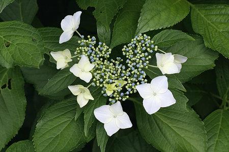 2009.06.06 追分市民の森 紫陽花