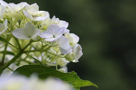 2009.06.06 追分市民の森 紫陽花-1