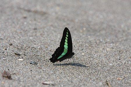 2009.06.20 七里ヶ浜 アオスジアゲハ-1