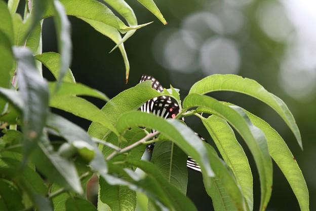 2009.07.18 四季の森 アカホシゴマダラ
