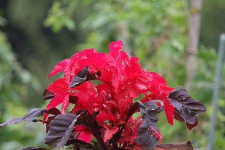 2009.09.19 和泉川 畑で紅葉