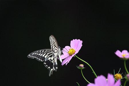 2009.10.03 和泉川 アゲハ