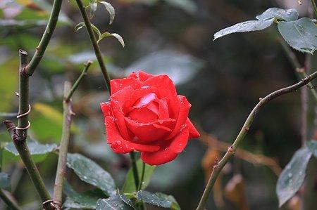 2010.11.26 和泉川 垣根の薔薇
