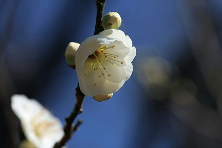 2011.02.16 大池公園 梅