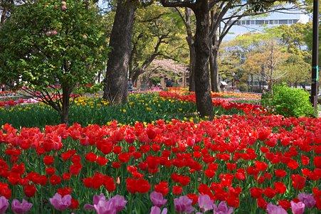 2011.04.15 横浜公園 チューリップまつり-15