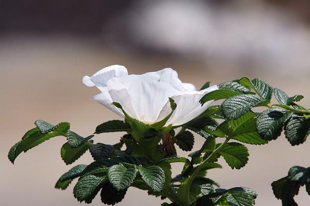 2011.05.08 和泉川 ハマナス
