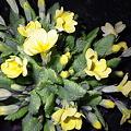写真: 北海道の野花8