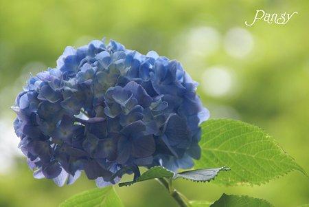 ふんわり浮かぶ・・明月院ブルー・・