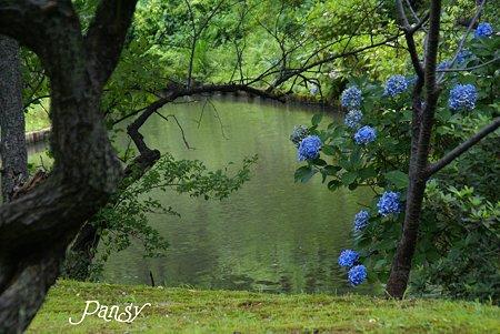 名残りの紫陽花咲く池・・