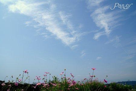 丘の上の秋桜・・6