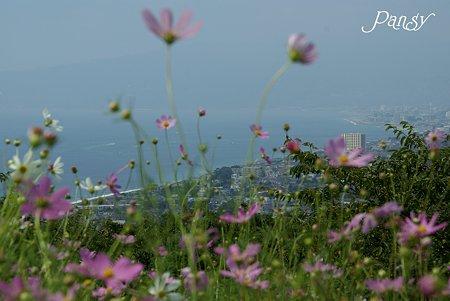 丘の上の秋桜・・10