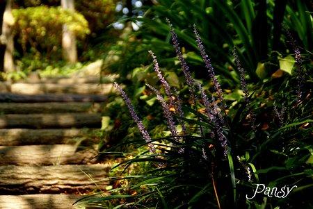 ヤブランの咲く小路・・