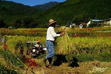 稲を刈る人・・日向薬師