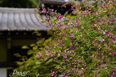 萩咲く寺院・・