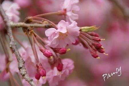 妙本寺の桜景色・・5