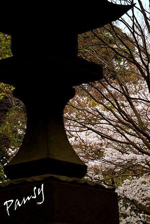 妙本寺の桜景色・・6
