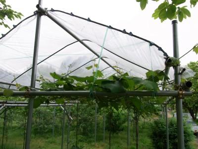 RIMG0763葡萄の屋根 サイズ変更