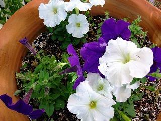 2009_0614庭の花0016