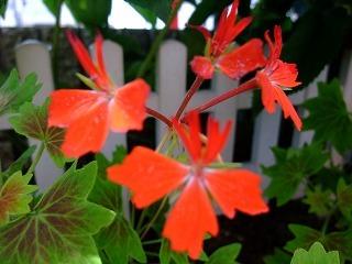 2009_0614庭の花0007