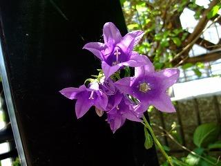 2009_0614庭の花0003