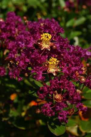 サルスベリの花090829-381