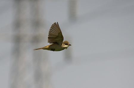 オオヨリキリの飛翔2