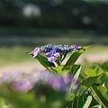 Photos: 紫陽花 岡山後楽園